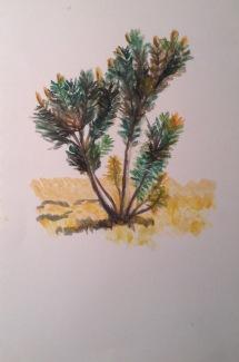 Banksia oil